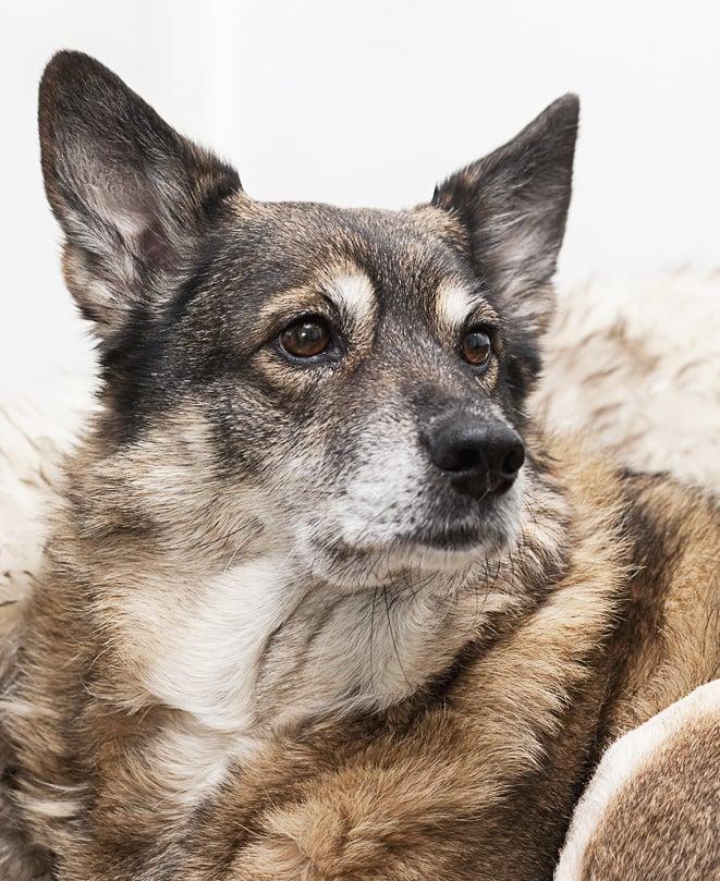 Mies toi vaimolleen sovintolahjaksi sekarotuisen koiranpennun, mutta ero tuli silti. Vaimo ei pärjännyt yllätyspennun kanssa ja luovutti sen eläinhoitolaan.