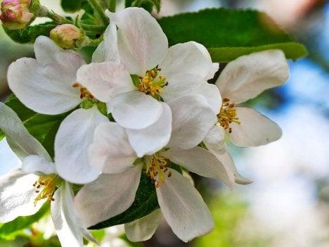 Omenanpuun kukinta on kevään kohokohta.