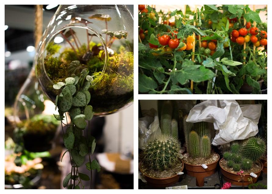 Mukaan messuilta tarttui tomaatin taimet, sillä olen ollut taas liian myöhässä: havahduin vasta huhtikuussa siihen, että tomaatin siemenet olisi pitänyt idättää jo aikoja sitten. Lapseni rakastaa kirsikkatomaatteja, ja niiden napsiminen suoraan pensaasta tuotti hänelle viime kesänä suuresti iloa!