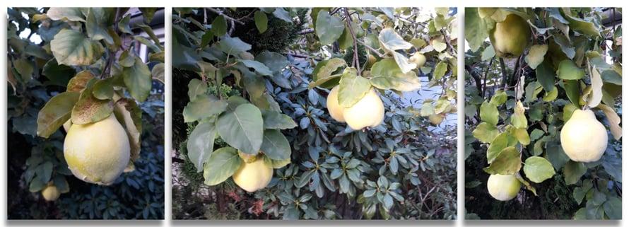 Hämäävä hedelmä. Suom. kvitteni, saks. Quitte, engl. quince, holl. kweepeer.