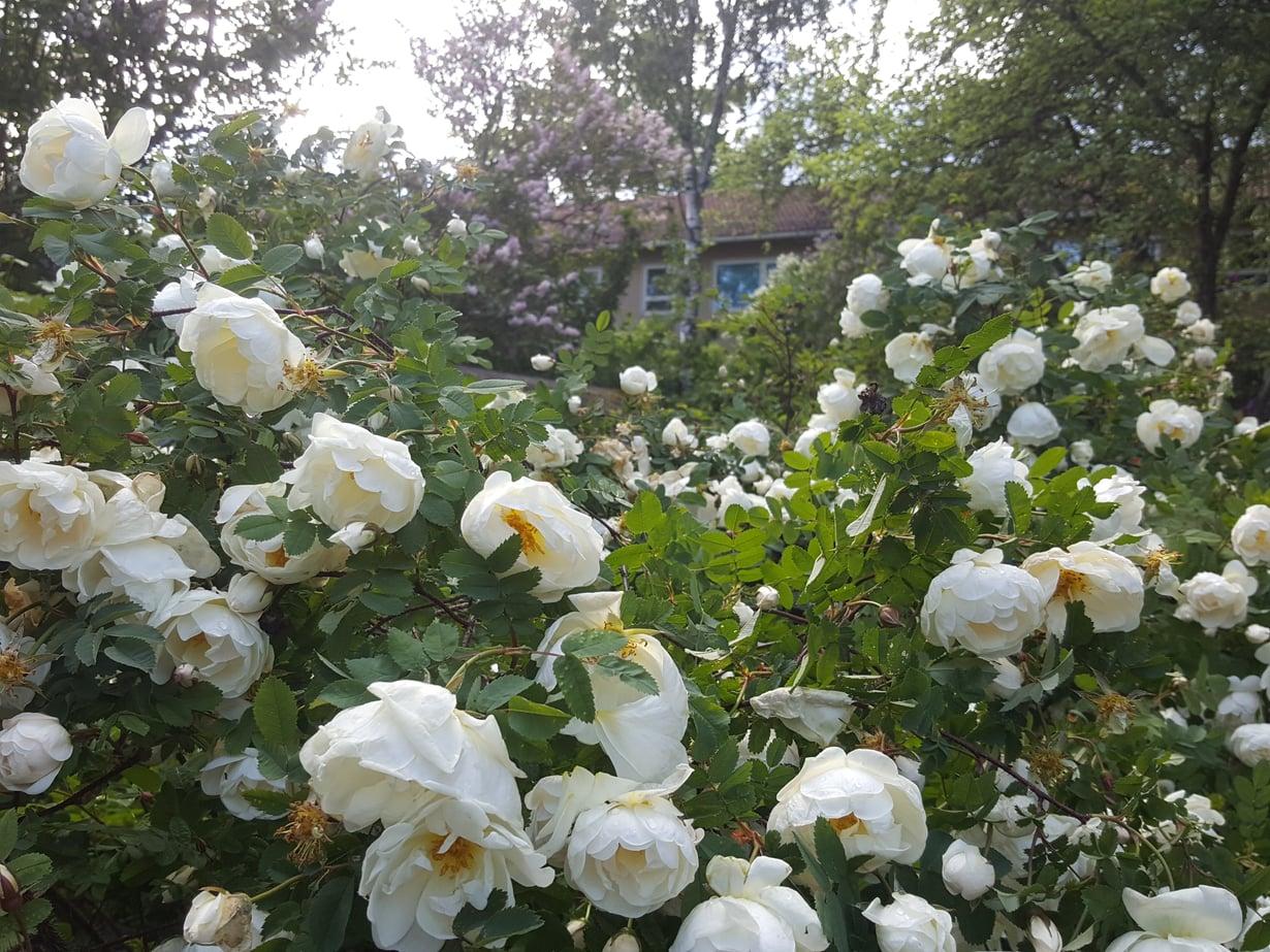Juhannusruusu on helppohoitoinen kasvi, joka kestää kuivassakin paikassa.