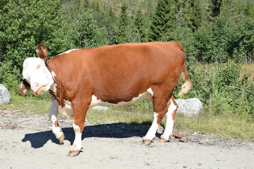 Hullu lehmä?