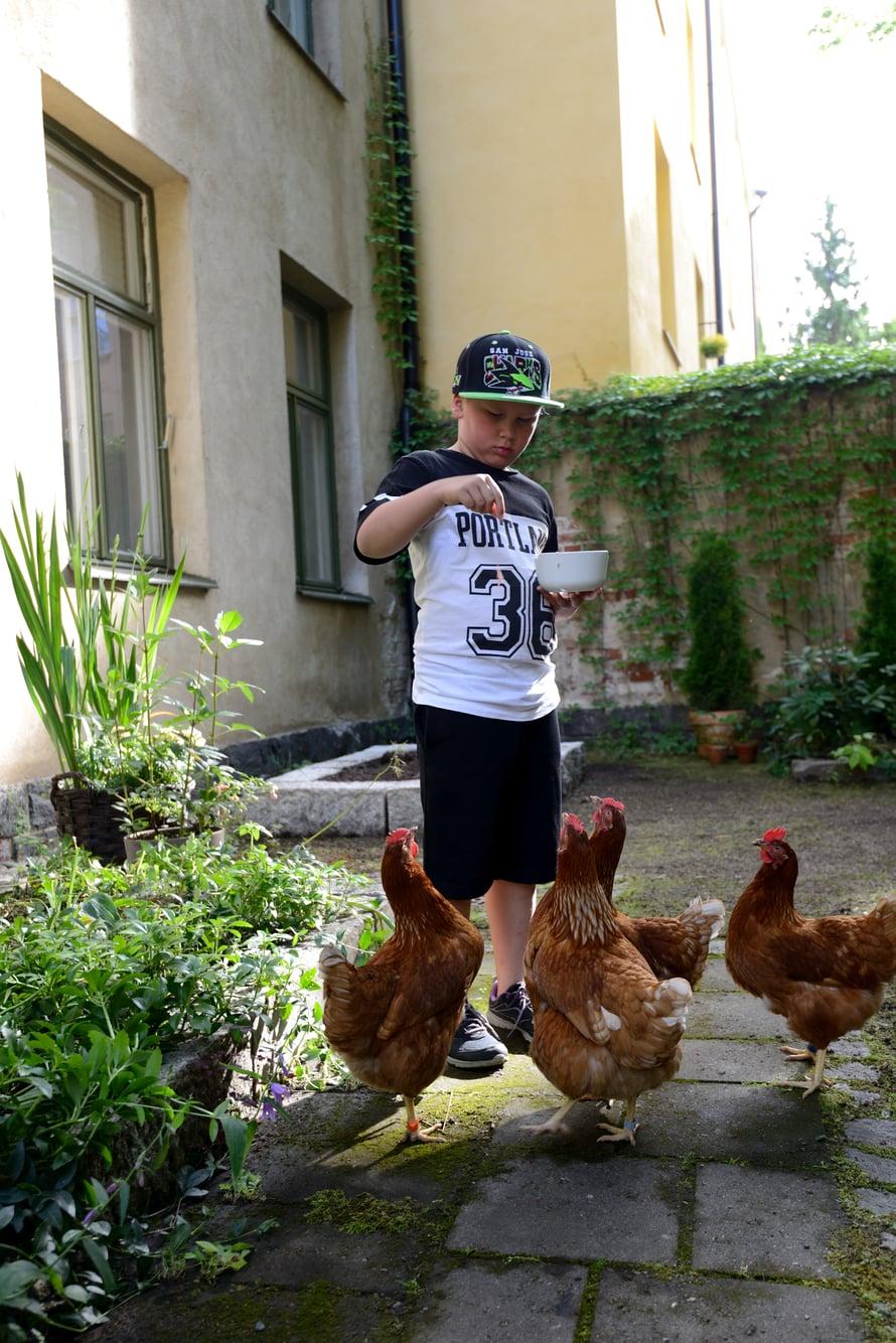 Veeti Huovinen, 9, auttaa mielellään kanojen ruokkimisessa.