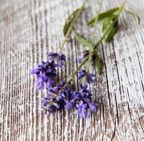 Monivuotisen laventelin siemenet kylvetään ruukkuihin maalis–huhtikuussa.