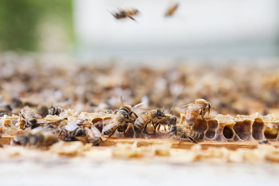Metsäkukista, kuten horsmasta ja vadelmasta, voikukista ja valkoapilasta tulee kaikista erilaista hunajaa. Hunajalaaduissa on eroja kuten viineissä.