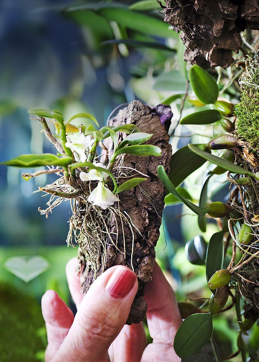 Pikkuruinen luonnonlaji Dendrobium oligophyllum kasvaa kaarnanpalan päällä.