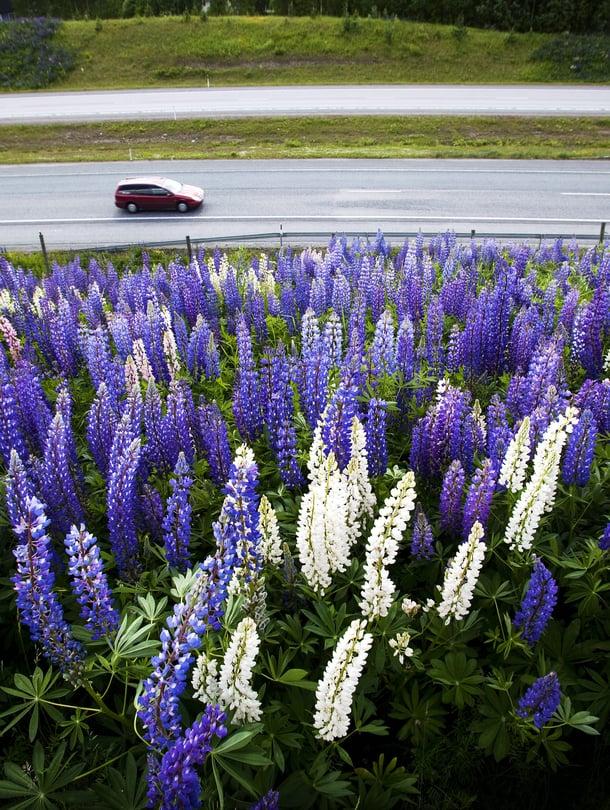 Lupiini on näyttävä kukka, joka on laajalti levinnyt esimerkiksi moottoriteiden varsille.