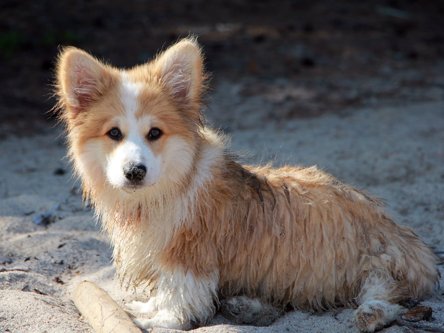 Koira tulkitsee ihmisen tunteita osittain myös hajun perusteella, koska ihohuokosistamme leijailee tuoksuja, joihin tunnetila vaikuttaa. Koira voi siis esimerkiksi haistaa pelon.