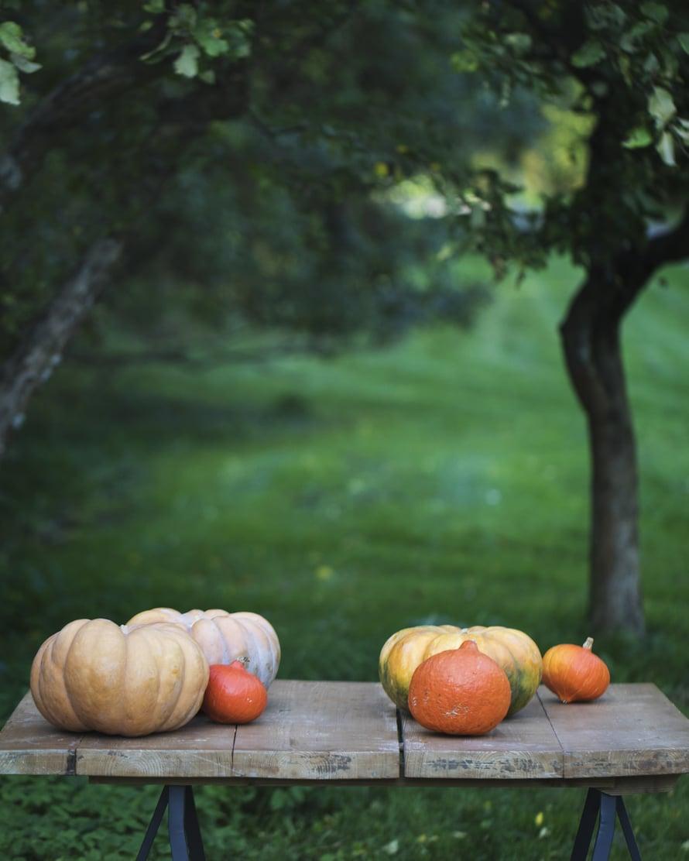 Hokkaidokurpitsan tunnistaa sen muikeasta muodosta ja syvästä oranssista väristä. Kuva: Kreetta Järvenpää.