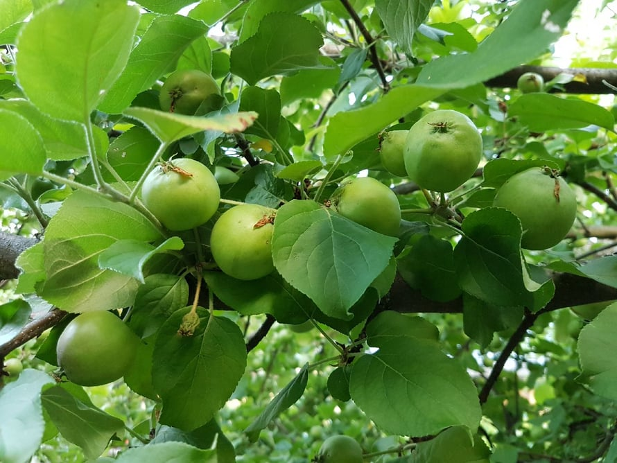 Syyslannoitus auttaa kasveja tekemään satoa ensi kesänäkin.
