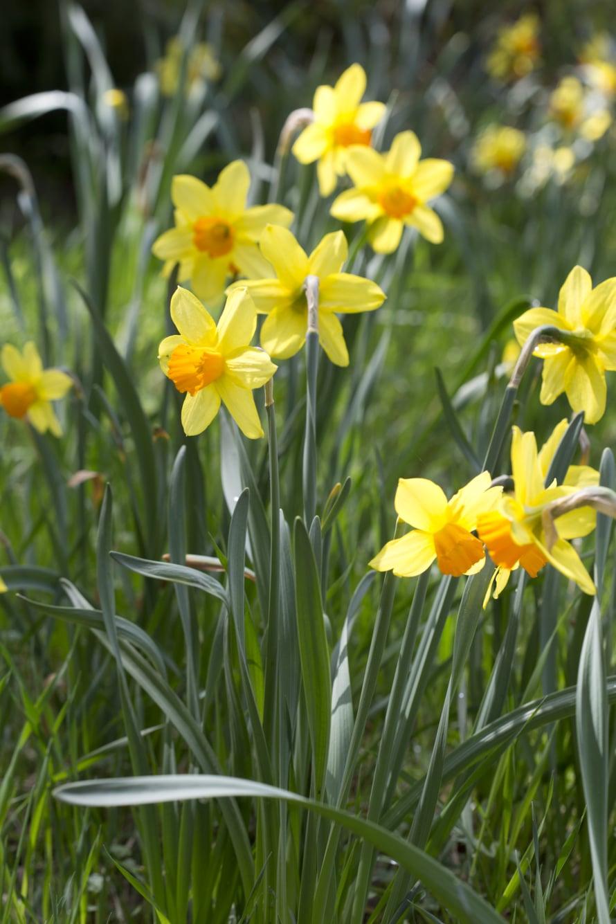 """Keveä """"Delibes"""" kukkii kilpaa auringon kanssa. Kukat ovat kelta-oranssit."""