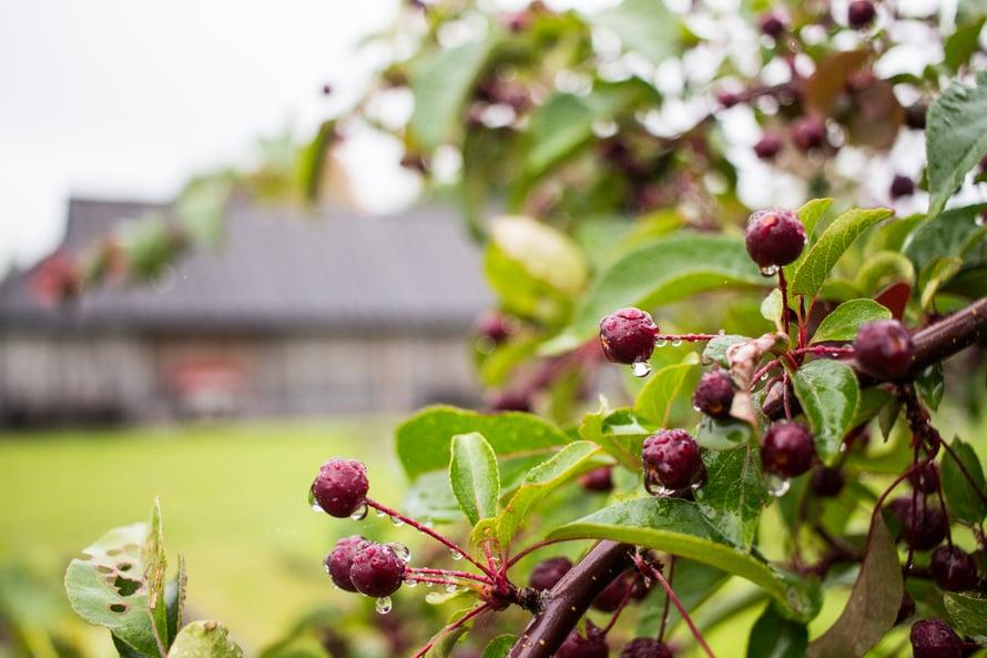 Muhun kirsikat ovat hapokkaita ja pieniä, täydellisiä yhdistettäviksi punaviinin tai sherryn kanssa!