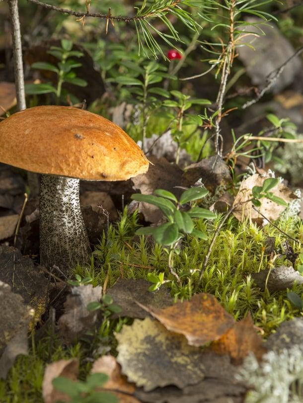 """Metsien kätkössä odottaa punikkitatti ja moni muu herkkupala. Kuva: <span class=""""photographer"""">Pete Aarre-Ahtio.</span>"""