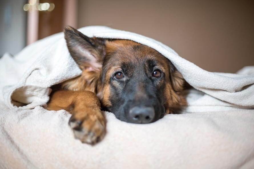Koira on sosiaalinen eläin, joka viihtyy parhaiten seurassa. Joskus sille pitää kuitenkin antaa omaa rauhaa.