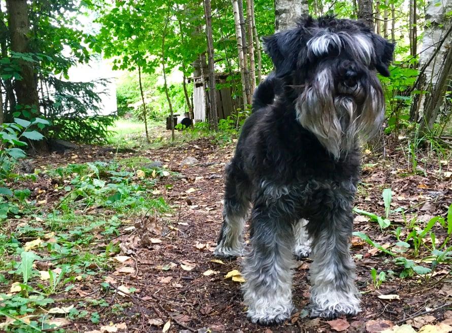 Kääpiösnautserimme Unto on pirteä 13-vuotias. Se rakastaa yli kaiken metsässä kulkemista.