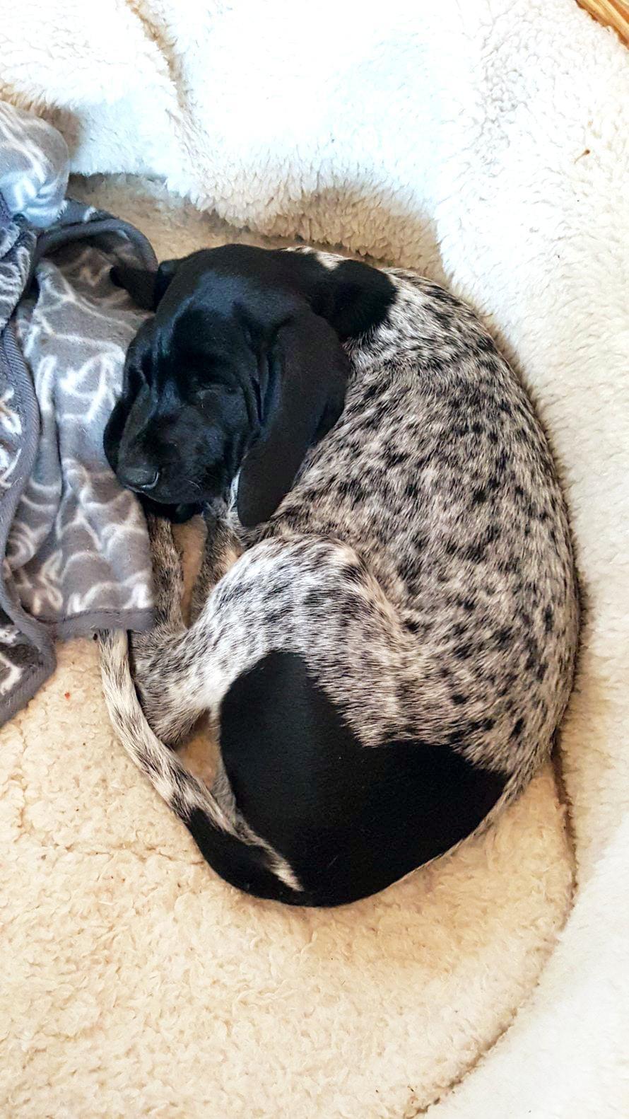 Pentuna huomattu sydänpylly on koiran kasvaessa laajentunut. Sydämellinen perhekoira.